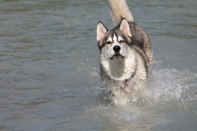 Husky wanderung schwimmen mit hunden dingocasabel for Naturteich zum schwimmen